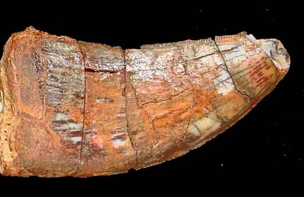 آمادگی سازمان میراث فرهنگی برای پیگیری وضعیت فسیل دندان دایناسور ایرانی در موزه ملی برزیل