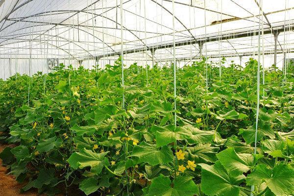 ایجاد 48 هزار هکتار گلخانه تا سال 1404