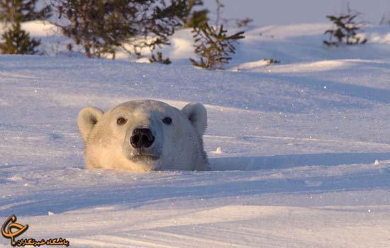 زیر چشمی نگاه کردن خرس قطبی و توله اش